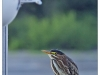 heron_green_martinpole_card13